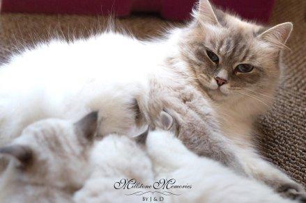 Siberian kittens MA