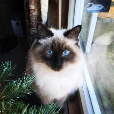 Siberian kitten CT