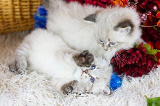 Siberian kittens Massachusetts