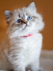 Siberian kittens for sale Massachusetts